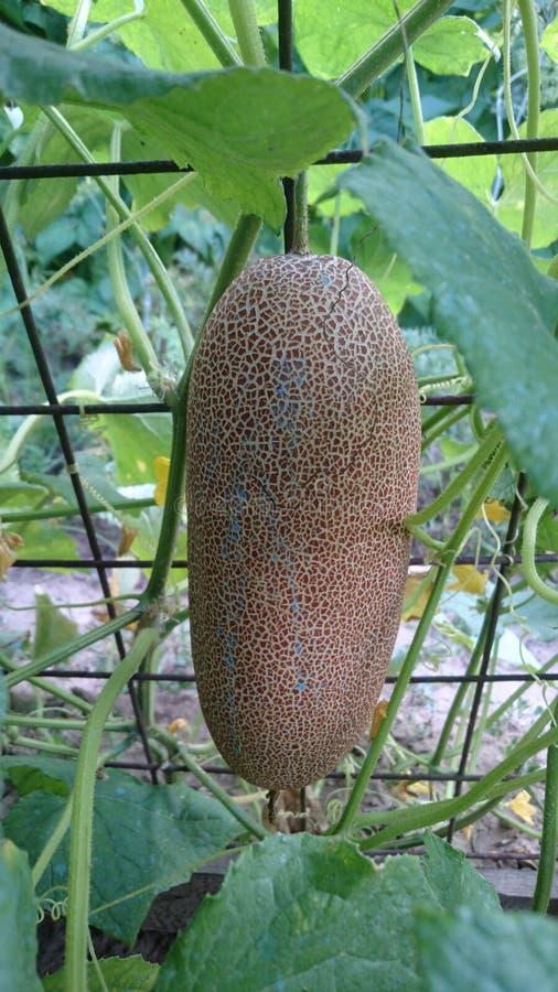 Zucchinifrukt som hänger från moderväxten i grönsakträdgården royaltyfria foton
