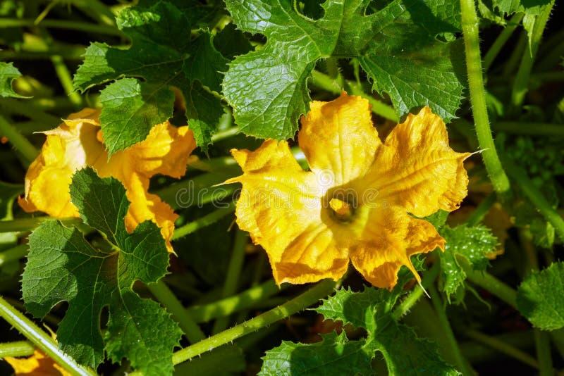 Zucchinin är blommande i trädgården royaltyfria bilder
