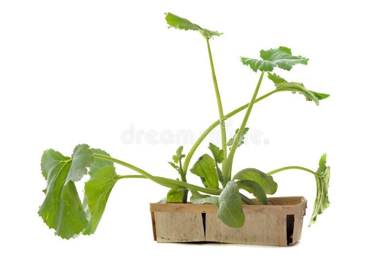 Zucchinisämling stockbilder