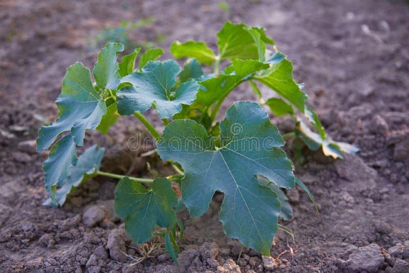 Zucchinisämling, der auf einem Gemüsebett wächst Bearbeitung und Pflanzen der Zucchini lizenzfreies stockbild