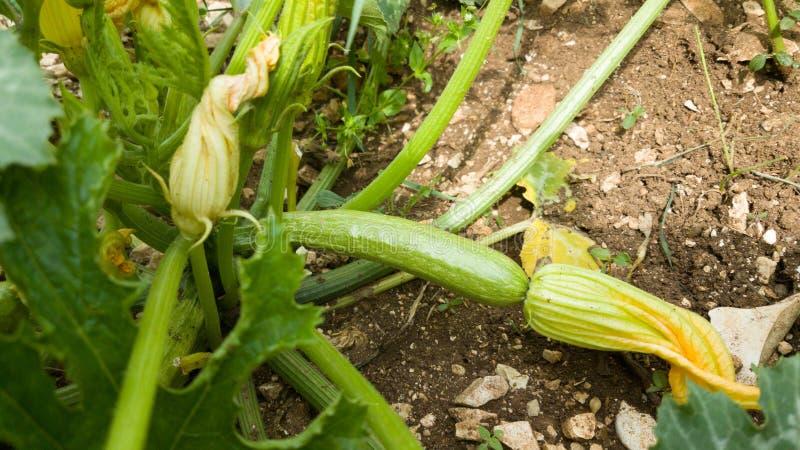 Zucchiniväxt på den nya gröna blomman för jord royaltyfria bilder