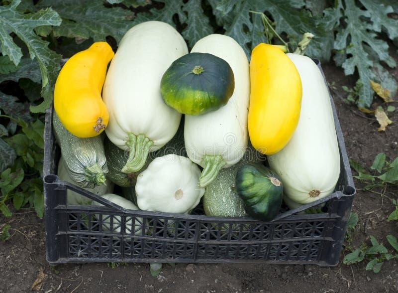 Zucchino in casella immagine stock