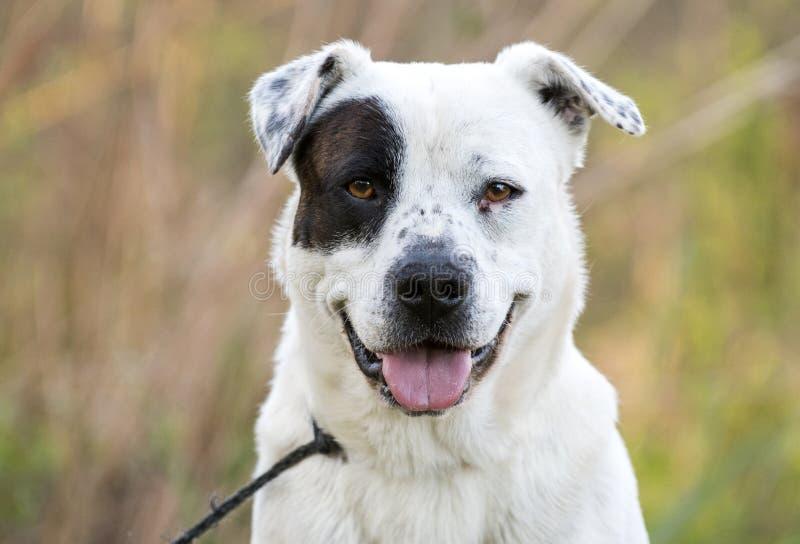 ZUCHT-Köterhund der glücklichen amerikanischen Bulldogge Misch stockbilder