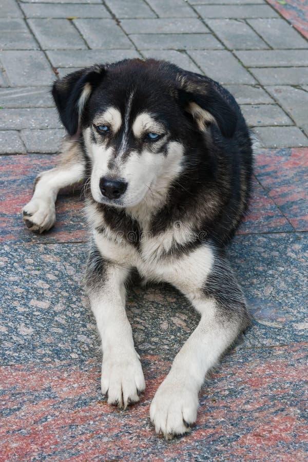 Zuchtschlittenhund des streunenden Hundes mit Schwarzweiss-Sitzen der blauen Augen auf der Pflasterung lizenzfreie stockfotos
