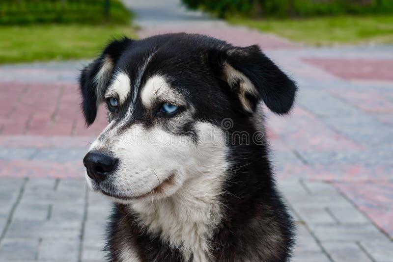 Zuchtschlittenhund des streunenden Hundes mit Schwarzweiss-Sitzen der blauen Augen auf der Pflasterung lizenzfreie stockbilder