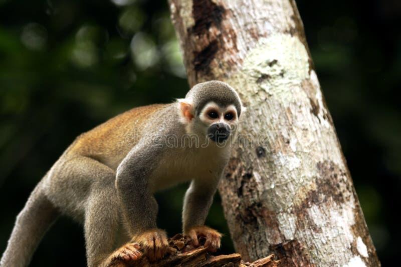 zuchwała małpa zdjęcie royalty free
