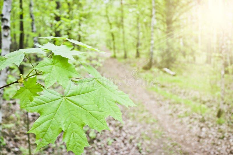 Zuckerahorn-oder Felsenahorn Acer-Zucker lässt Nahaufnahme auf dem Hintergrund des Waldes des Fußwegs im Frühjahr stockbild