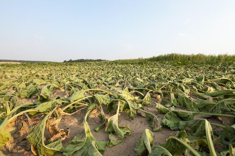 Zuckerrübe in der Dürre stockfotos