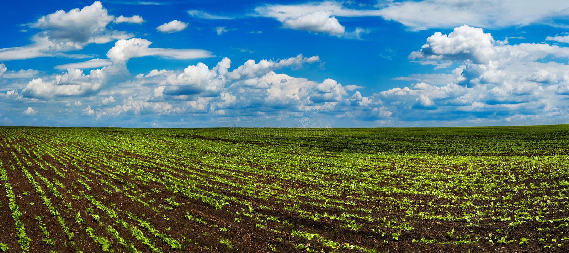 Zuckerrübenernten Feld, Hügellandschaft stockbild