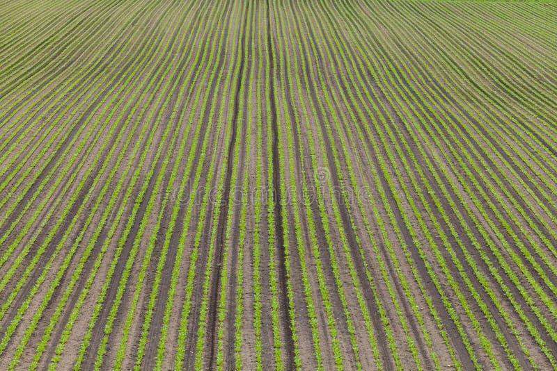 Zuckerrübenfelder stockbilder