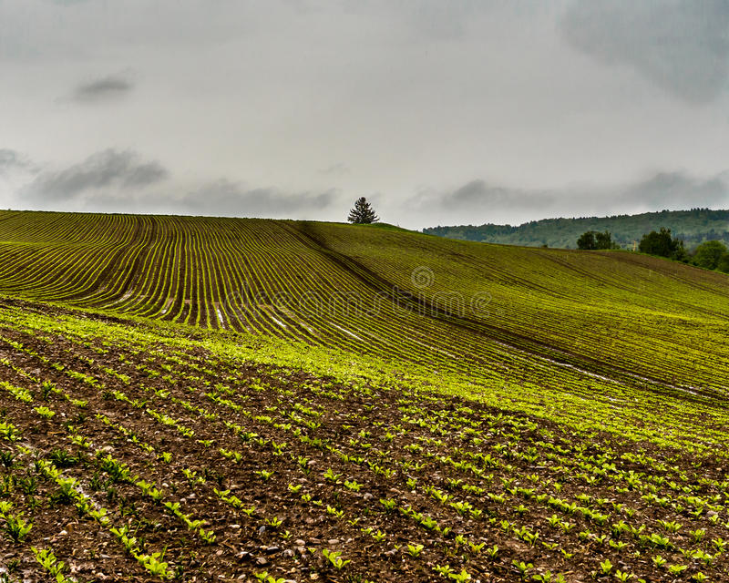 Zuckerrübenfelder lizenzfreie stockfotos
