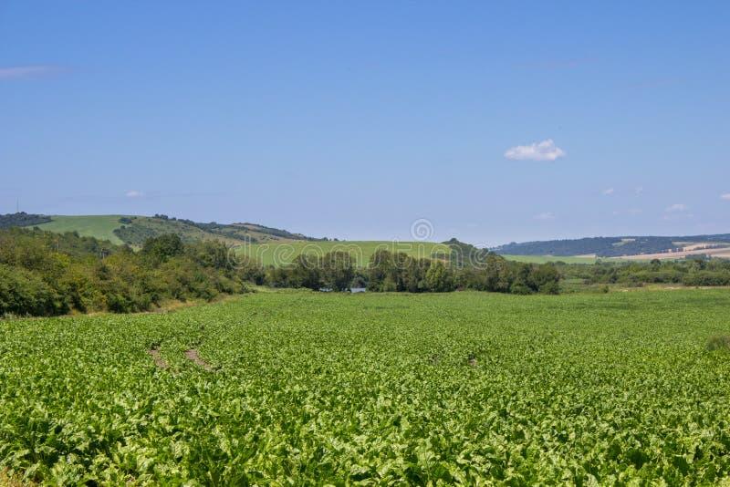 Zuckerrübenlandschaft, schöne Felder der grünen Zuckerrübe auf einem Gebiet mit Bergen im Abstand lizenzfreie stockfotos