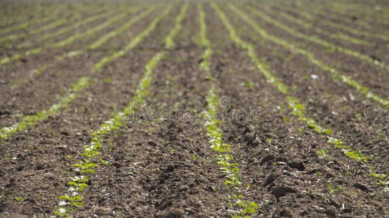 Zuckerrübenreihen auf einem Gebiet lizenzfreie stockbilder