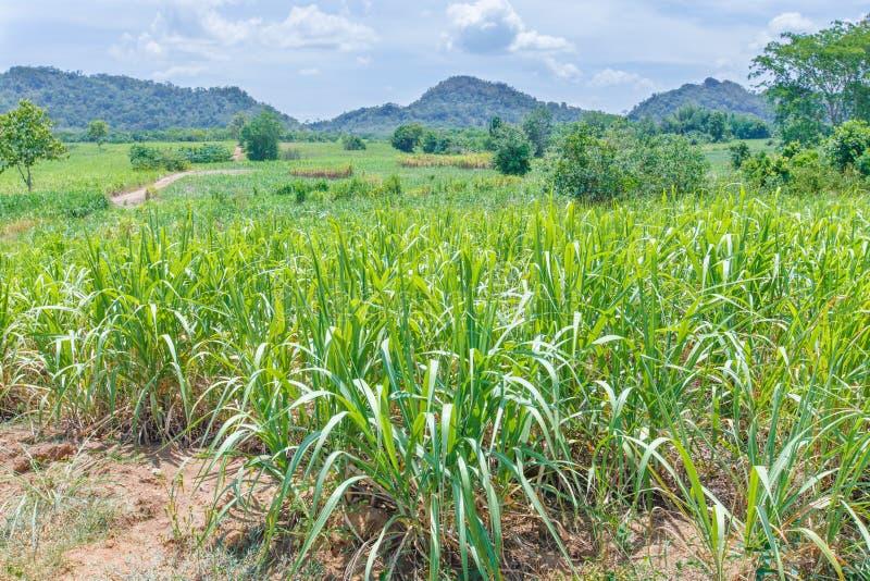 Zuckerrohr erntet Landschaftsnatur lizenzfreie stockbilder