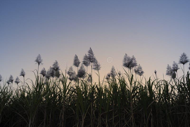 Zuckerrohr fängt Blume bei sonnigem Sonnenuntergang auf stockbilder