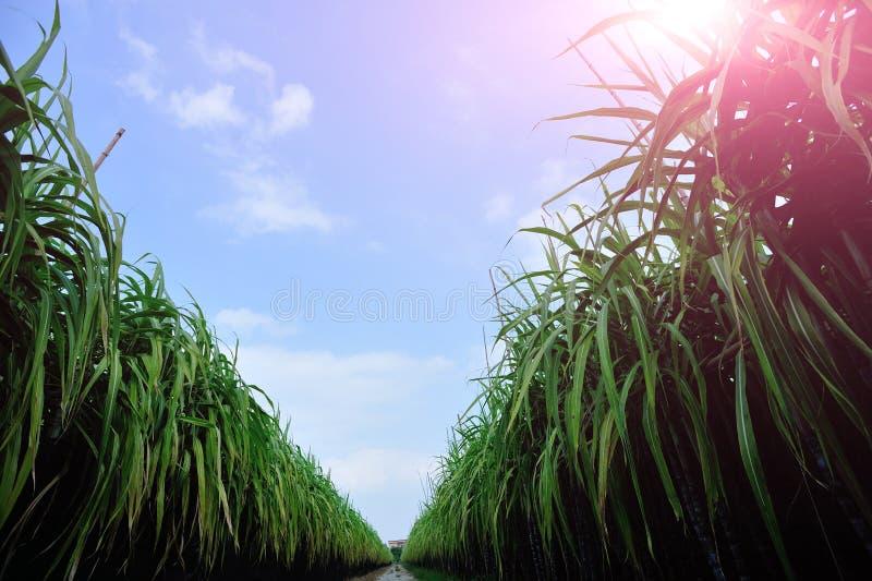 Zuckerrohr am Feld lizenzfreie stockbilder