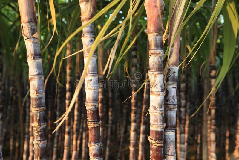 Zuckerrohranlagen am Feld lizenzfreie stockfotos