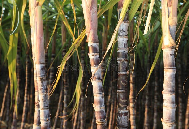 Zuckerrohranlagen am Feld lizenzfreies stockfoto