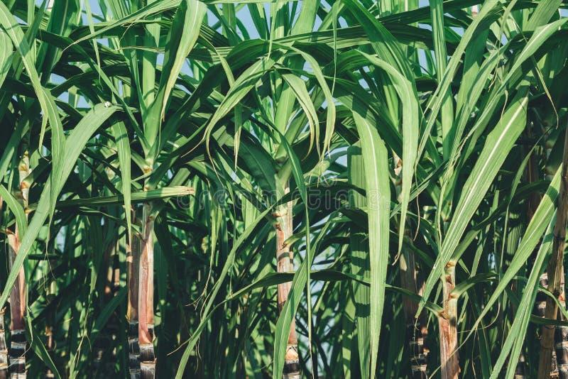 Zuckerrohranlagen am Feld stockbild