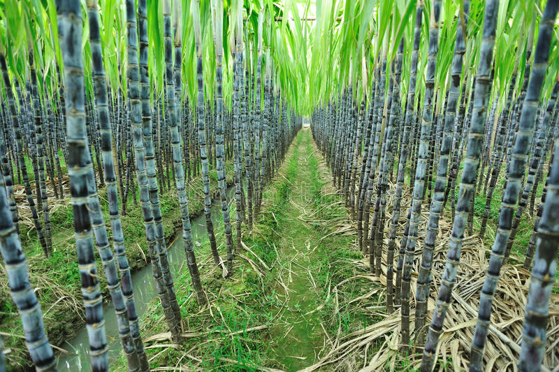 Zuckerrohrbauernhof stockbild