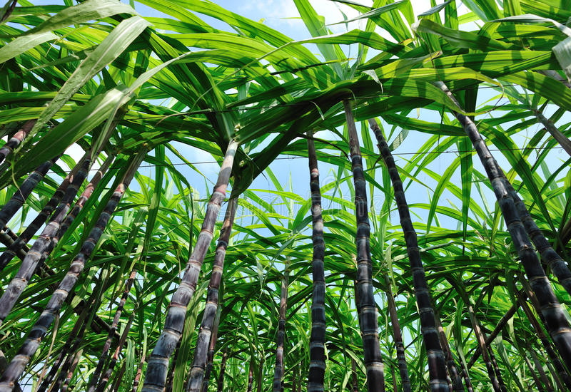 Zuckerrohrernten stockfoto
