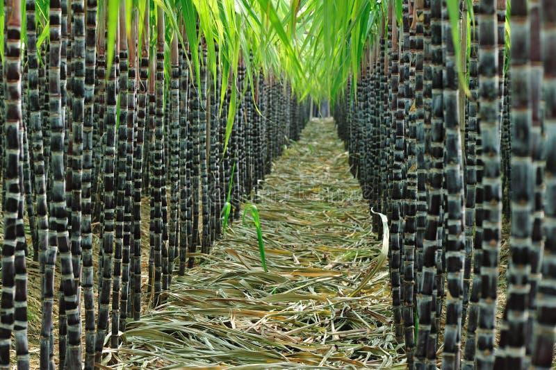 Zuckerrohrfeld stockbild