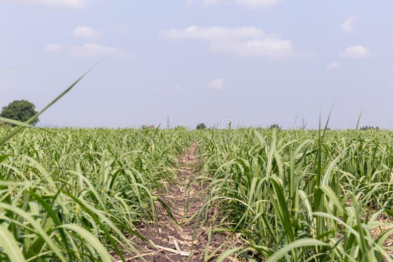 Zuckerrohrfeld Zuckerrohrplantagen, die tropische Anlage der Landwirtschaft lizenzfreies stockfoto