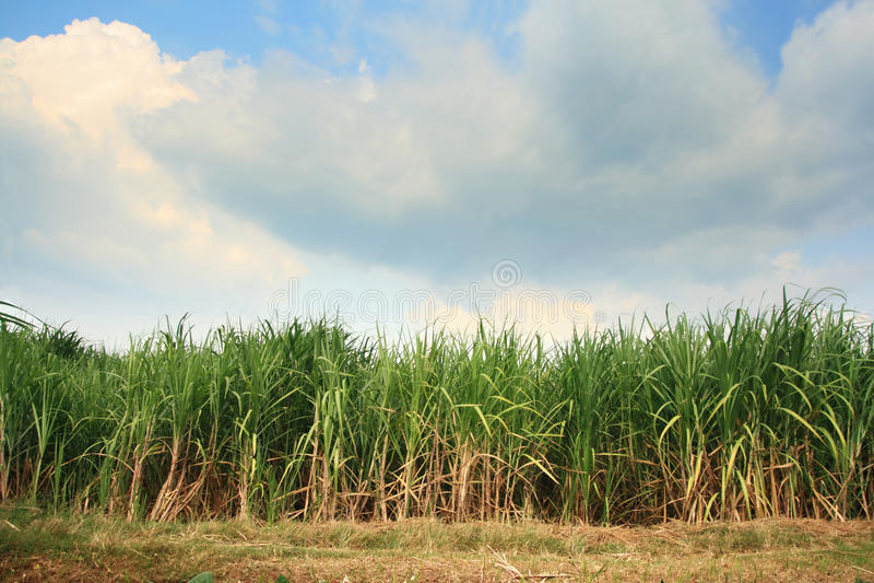 Zuckerrohrplantage stockbilder