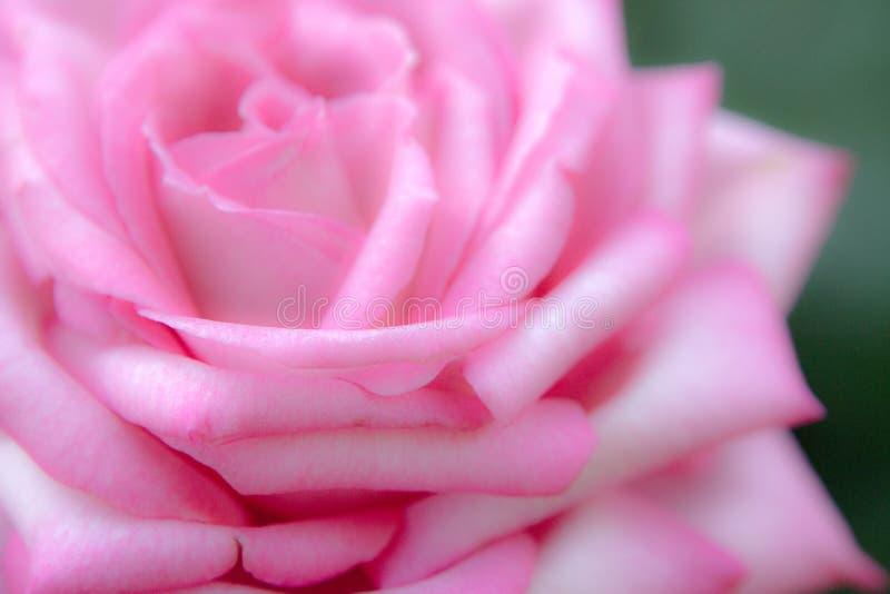 Zuckerwatte Rose Blossom lizenzfreies stockbild