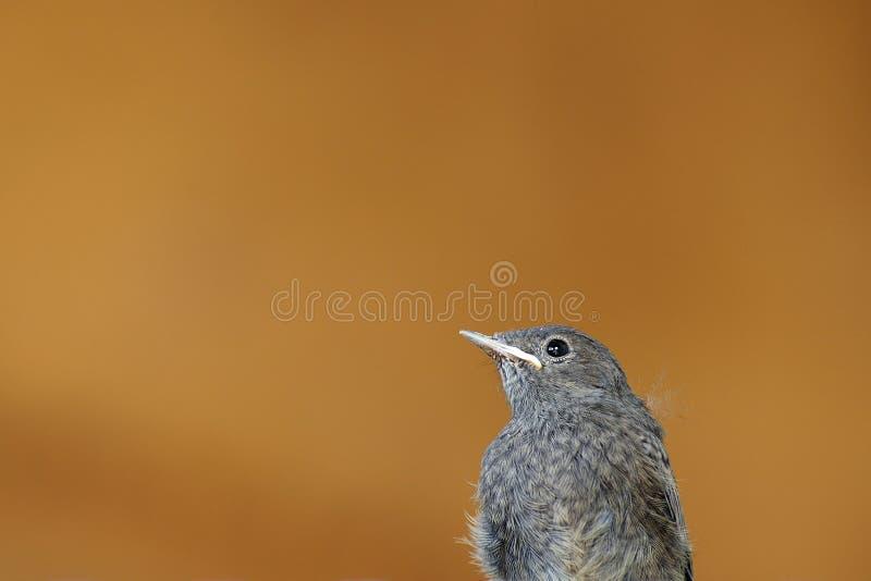 Zuerst Fliegenvogelbaby mit orange Hintergrund stockfotos