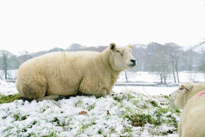 Zufriedene Schafe im Schnee stockbilder