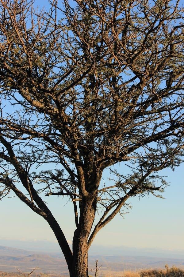 Zuidafrikaanse Acaciaboom bij zonsondergang stock afbeeldingen