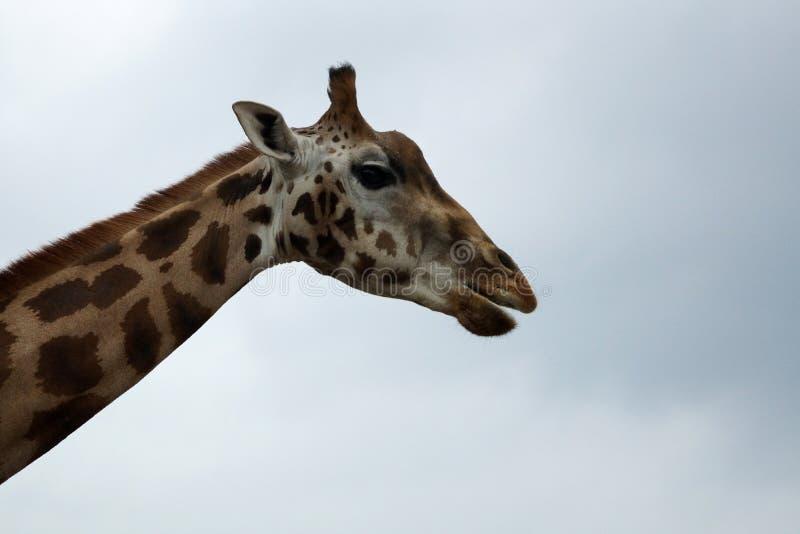 Zuidafrikaanse giraf of Kaapgiraf stock afbeeldingen