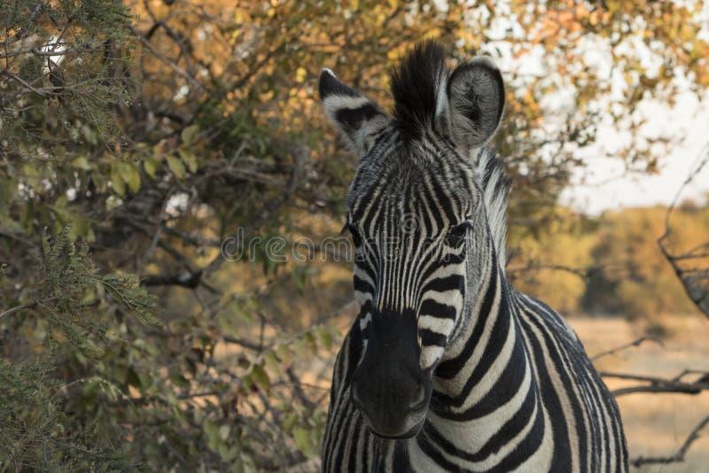Zuidafrikaanse Vlaktes Gestreepte Foto stock foto's