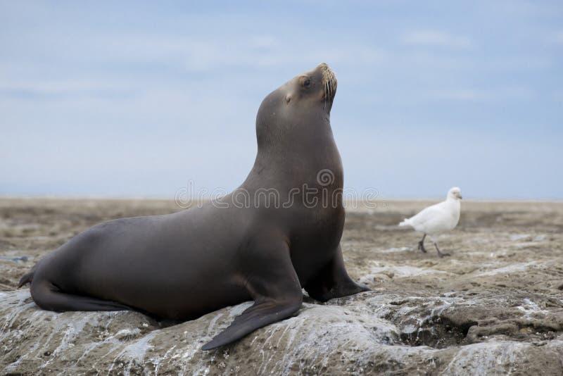 Zuidamerikaanse Zeeleeuw royalty-vrije stock afbeeldingen