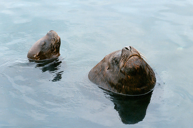 Zuidamerikaanse Zeeleeuwen stock foto's