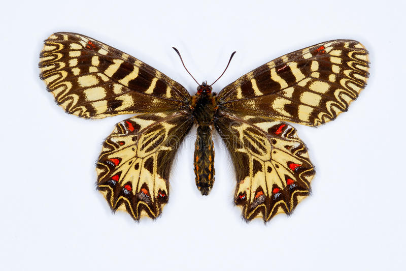 Zuidelijke die slingervlinder op wit wordt geïsoleerd stock afbeelding