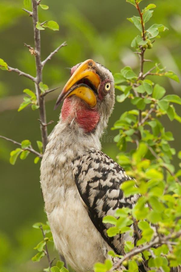 Zuidelijke Geelsnaveltok, sydlig Guling-fakturerad Hornbill, Tocku arkivbild