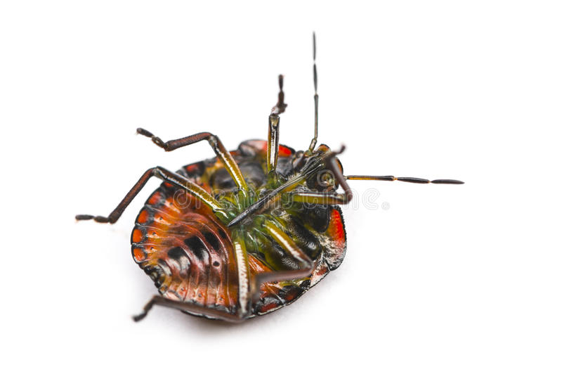 Zuidelijke groen stinkt insect op zijn rug royalty-vrije stock foto's