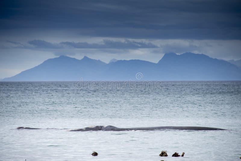 Zuidelijke juiste walvis in Walker Bay stock foto