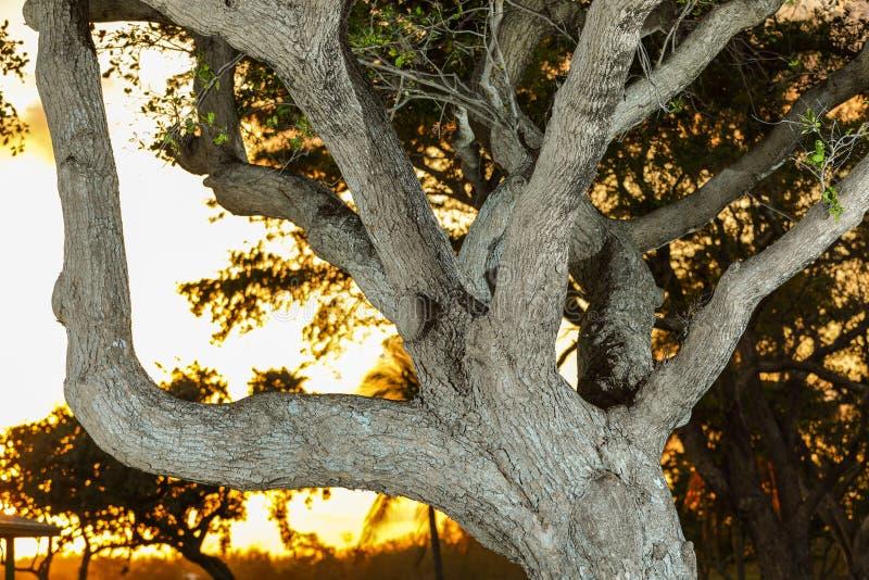 Zuidelijke levende eiken boom backlit met zonsondergang royalty-vrije stock afbeelding