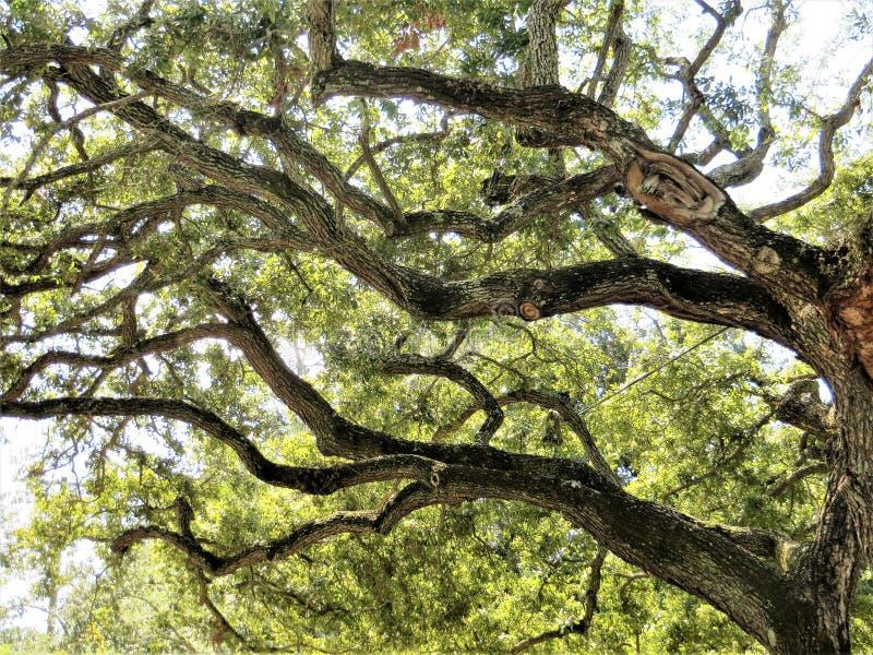 Zuidelijke levende eiken boom, Tamper, Florida stock fotografie