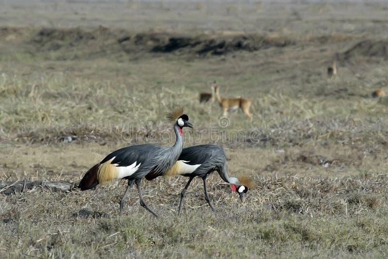 Zuidelijke regulorum van be*kronen-Kraanbalearica, het Nationale Park van Gorongosa, Mozambique royalty-vrije stock foto