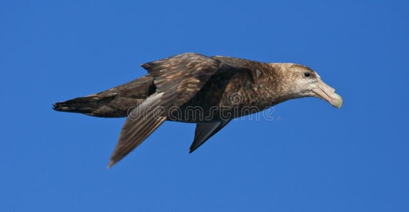 Zuidelijke Reuzenstormvogel, νότια γιγαντιαία προκελλαρία, Macronectes στοκ εικόνες