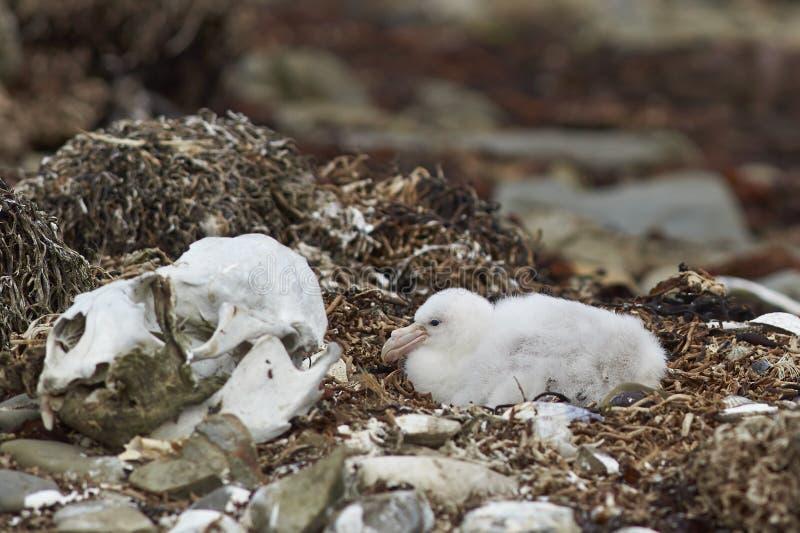 Zuidelijke Reuzestormvogel - Falkland Islands stock foto's