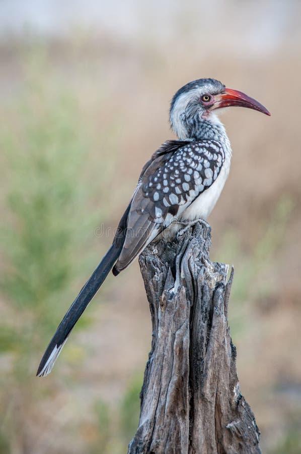 Zuidelijke rood-Gefactureerde Hornbill (Tockus-rufirostris), Botswana royalty-vrije stock foto