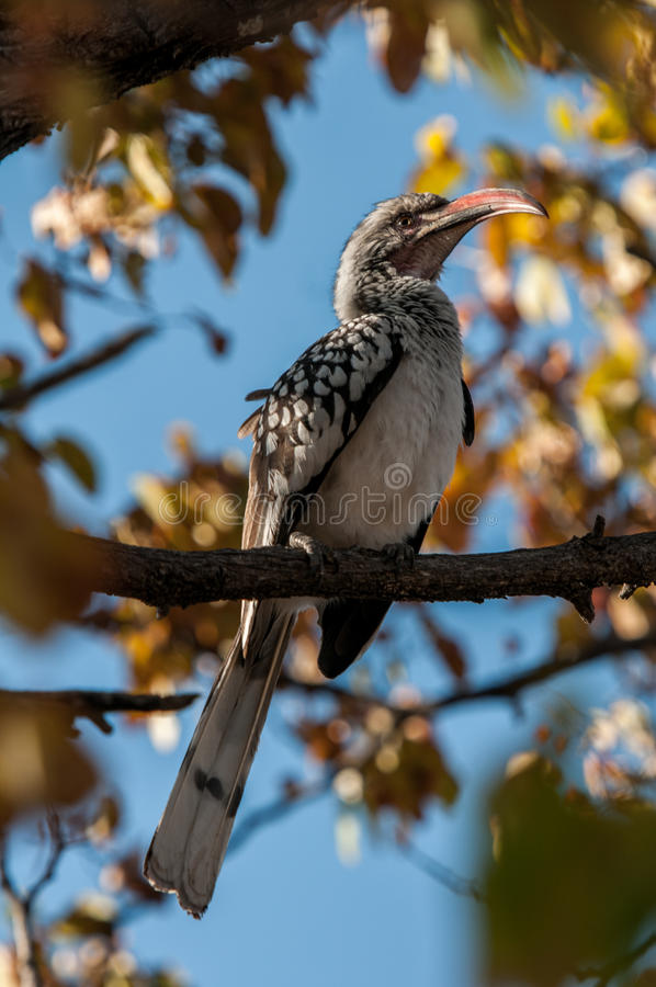 Zuidelijke rood-Gefactureerde Hornbill (Tockus-rufirostris), Botswana royalty-vrije stock afbeelding