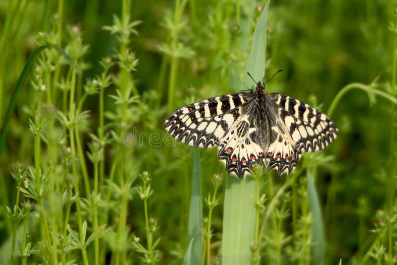 Zuidelijke Slinger (Zerynthia-polyxena) vlinder royalty-vrije stock fotografie