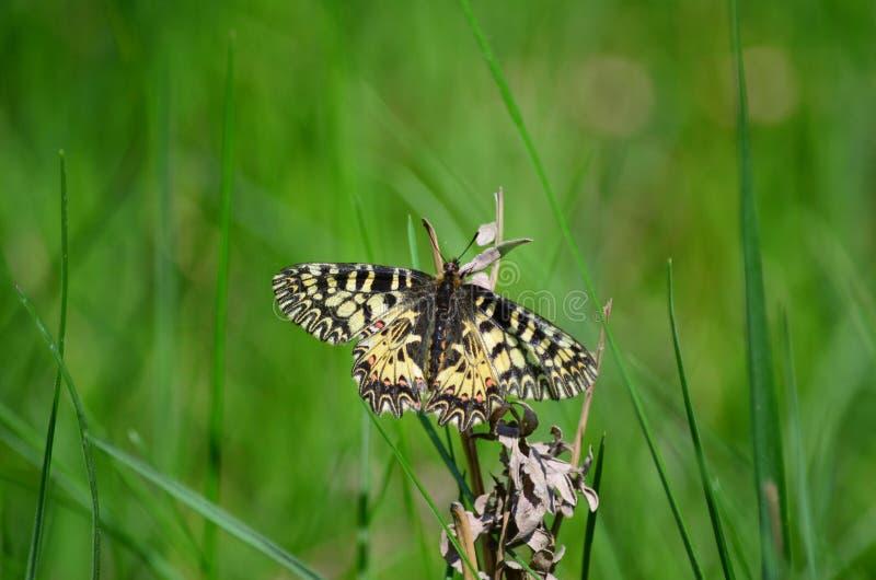 Zuidelijke Slingervlinder royalty-vrije stock afbeelding