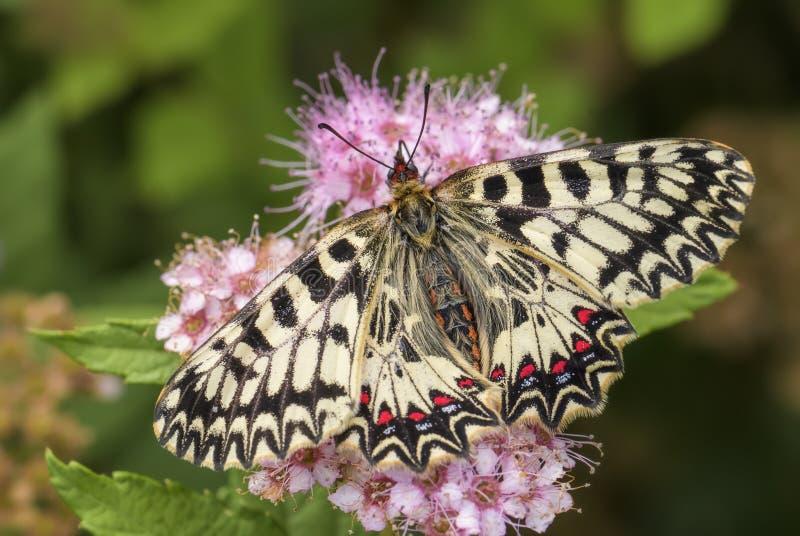 Zuidelijke Slingervlinder - Zerynthia-polyxena stock fotografie